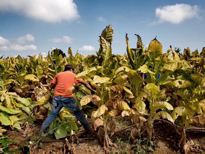 Human Rights Watch призывает власти США запретить детский труд на табачных фермах
