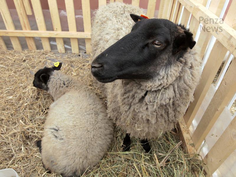 ВПензенской области предложено развивать овцеводство