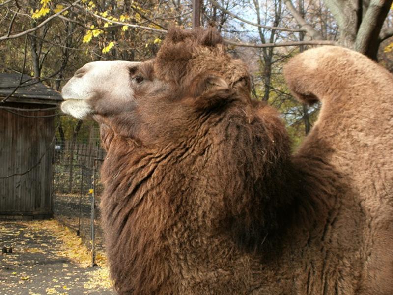 В зоопарк Пензы для создания пары доставлен племенной двугорбый верблюд