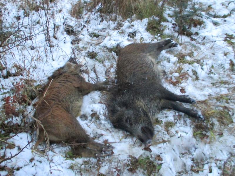 ВПензенской области нелегально убиты 2 кабана