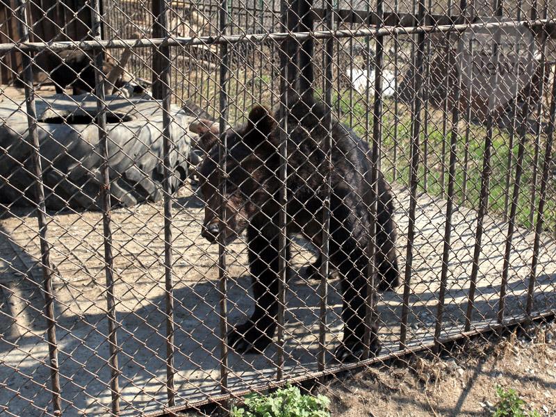 ВПензенском районе медведь насмерть загрыз 50-летнего мужчину