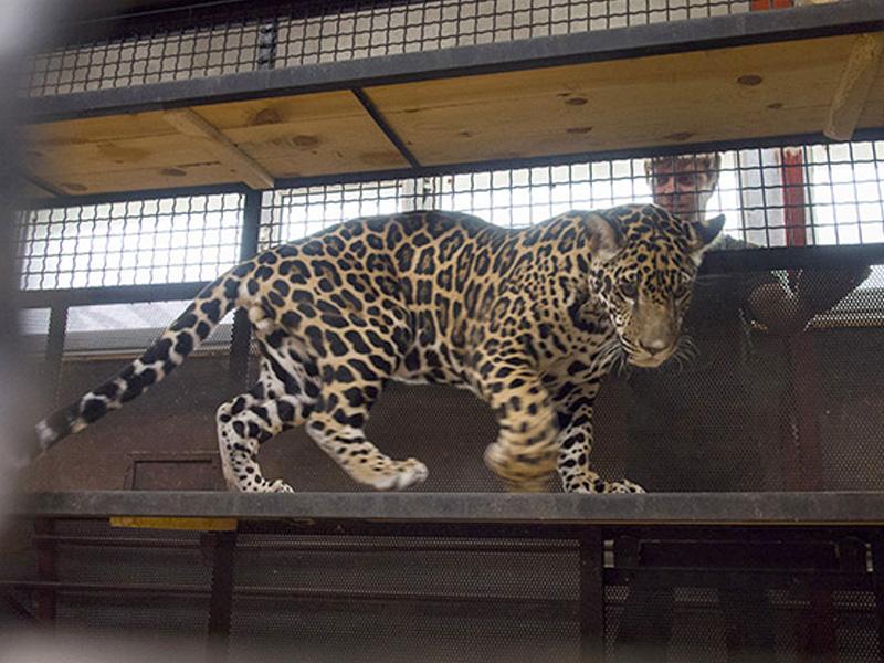 Пензенский зоопарк заявляет конкурс наимя для ягуара