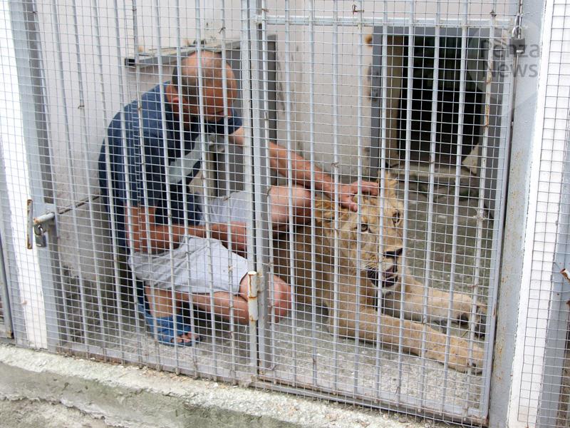 ВСаратовской области хозяин льва заплатит занападение животного наподростка